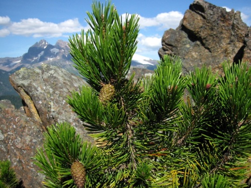 The Lodgepole Pine